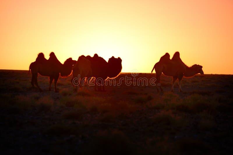 Ambos o camelo fotografia de stock royalty free