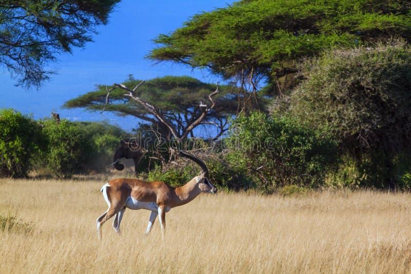 Amboseli σαφάρι στοκ εικόνα