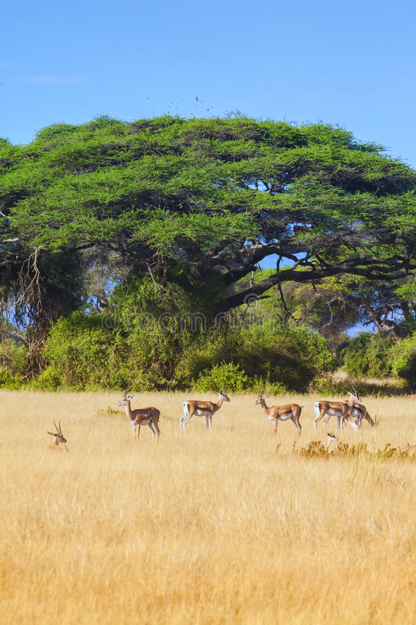 Amboseli сафари стоковое изображение