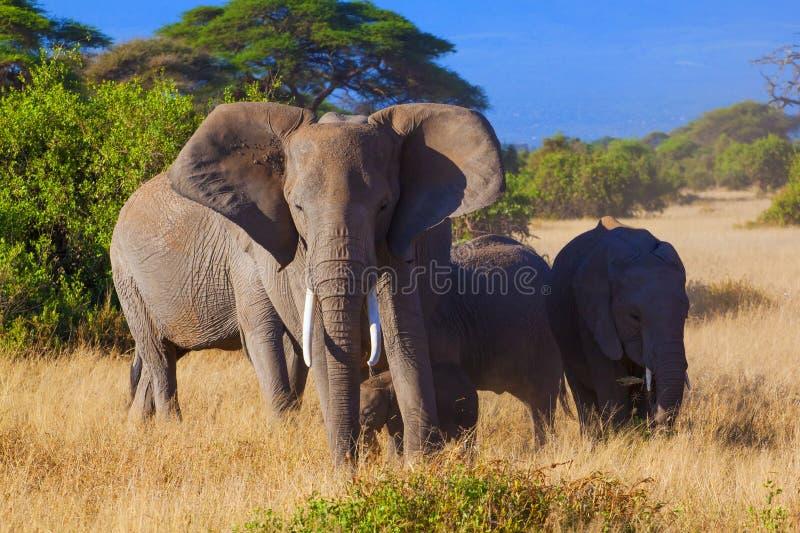 Amboseli сафари стоковое изображение rf