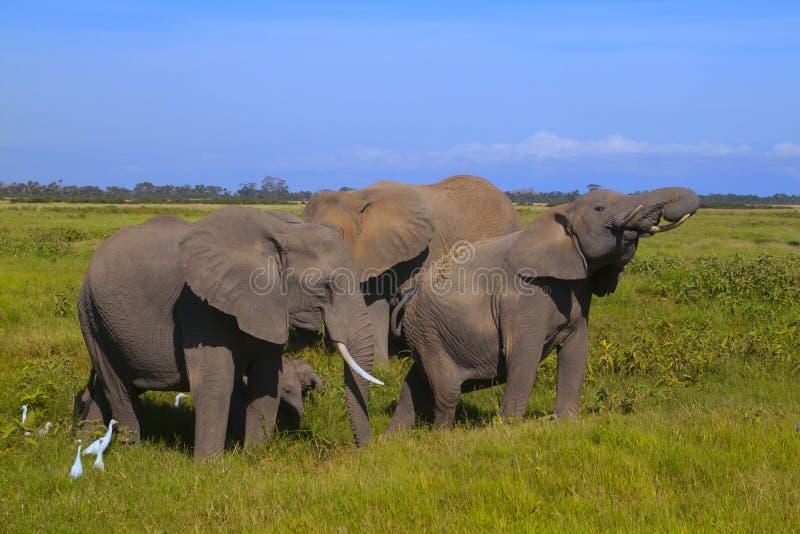 Amboseli сафари стоковые фото