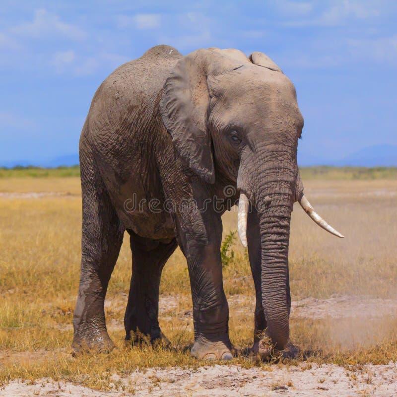 Amboseli сафари стоковая фотография