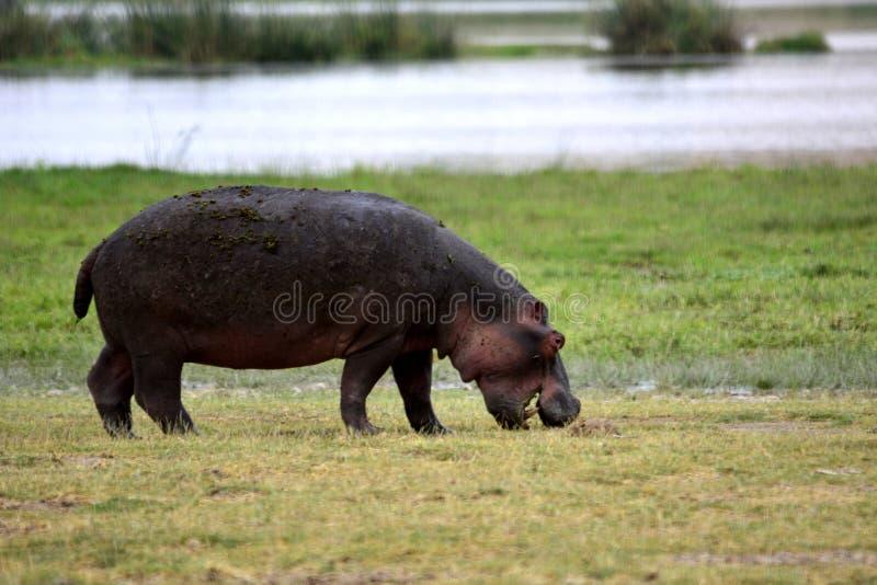 The common hippopotamus Hippopotamus amphibius royalty free stock photos