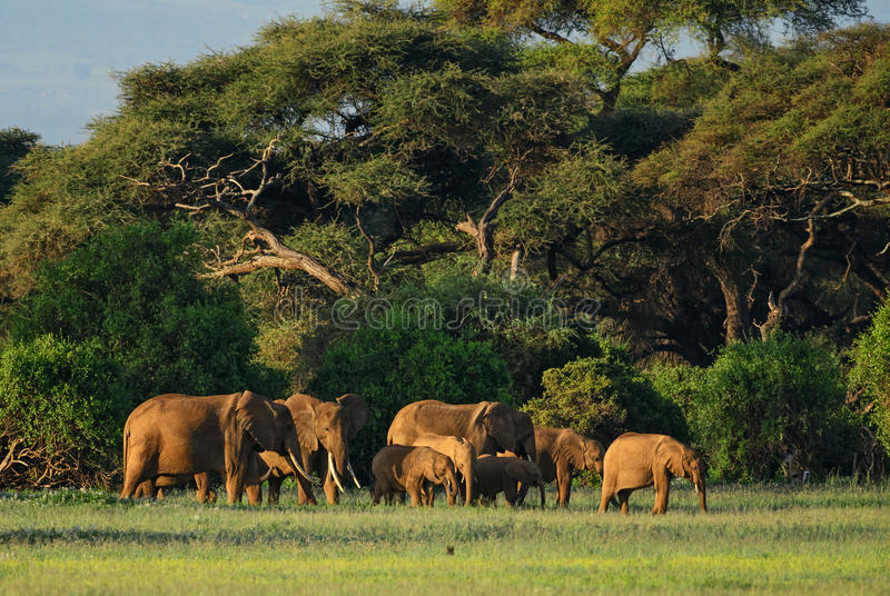 Amboseli national park. Group of elephants with nice background in Amboseli national park, Kenya stock photography