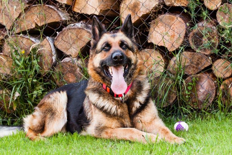 Ambra德国牧羊犬 免版税库存图片