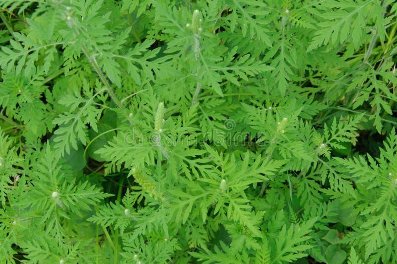 Ambrosia ist eine Quelle von Allergien Blühender Ragweed in der Natur lizenzfreie stockfotos