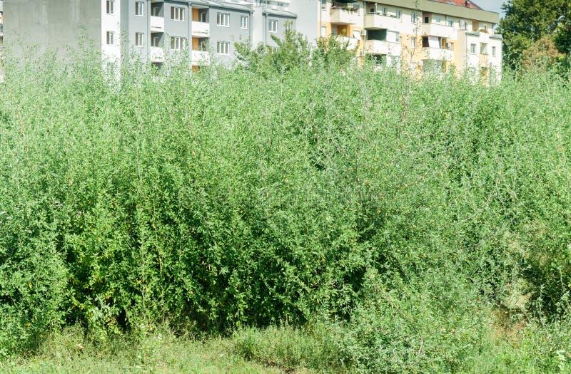 Ambrosiaartemisiofolia för grön växt - gemensam årlig låg korsörtbuske nära stadsfaran för allergin för respiratoriskt system för arkivbilder