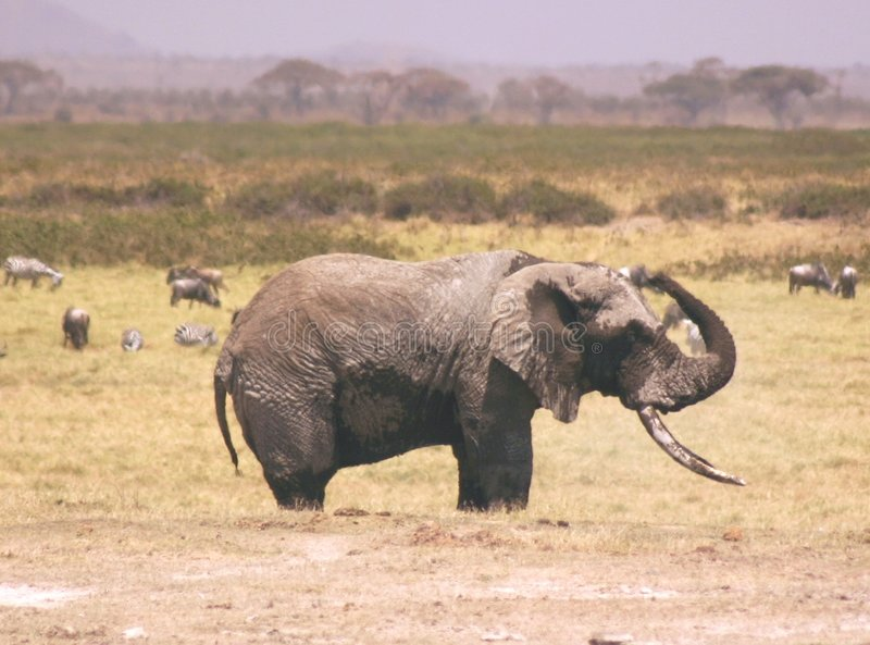 Download Ambseli elli 1,04 stock image. Image of xtreme, amboseli - 62849