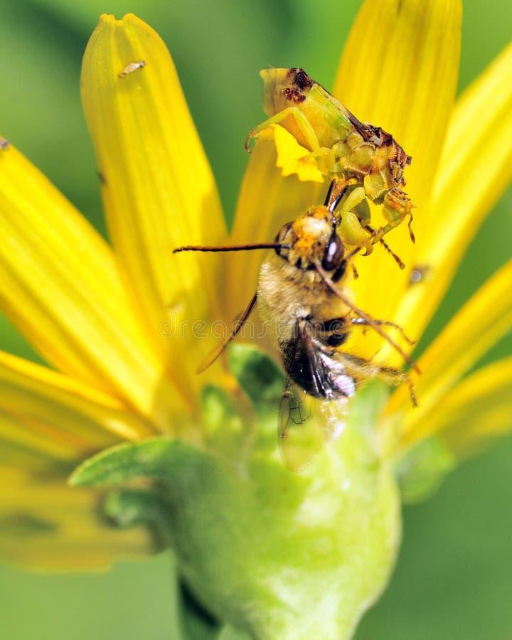 Download Ambush Bug stock image. Image of stalking, hunting, flower - 15375601
