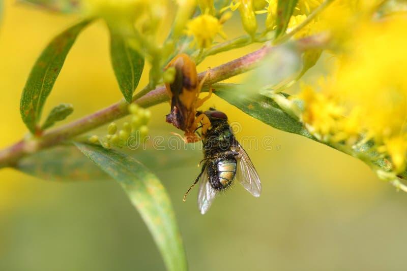 Download Ambush bug stock photo. Image of wildflower, phymata - 26738556