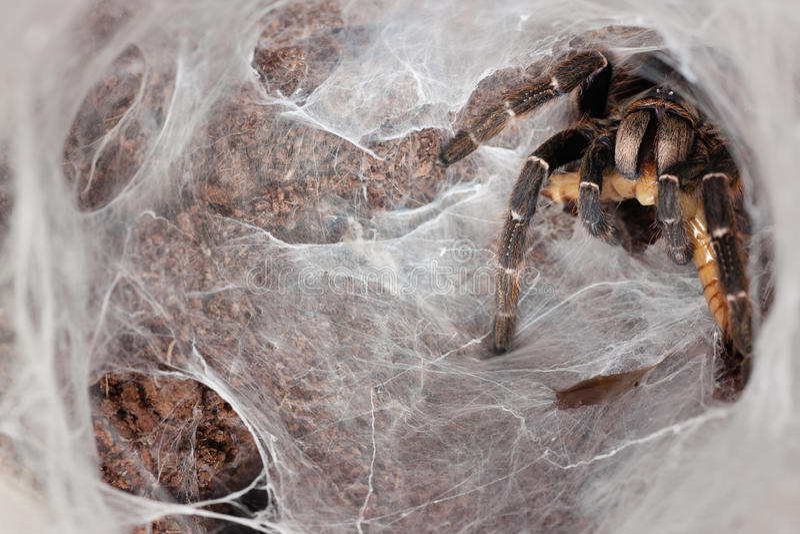 Ambush Tarantula. Tarantula (Ceratogyrus darlingi) eating Zophobas morio, an ambush predator stock photos