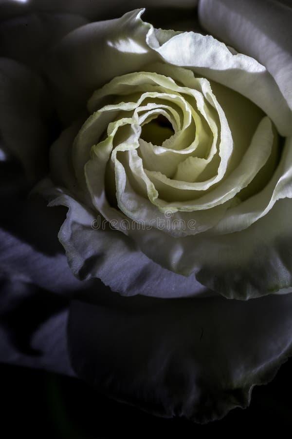Ame, subió, florecen, macro, blanco, brillo, sombra, rizos, fondo amarillo, amarillo, textura, diseño foto de archivo libre de regalías