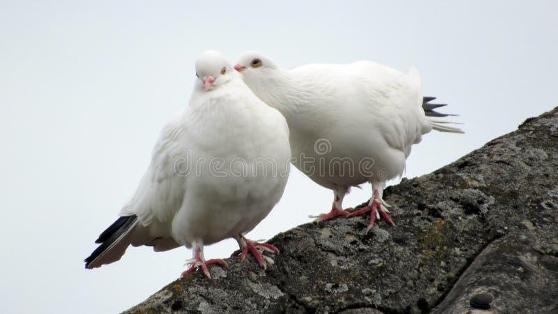 Ame um par pombas brancas foto de stock