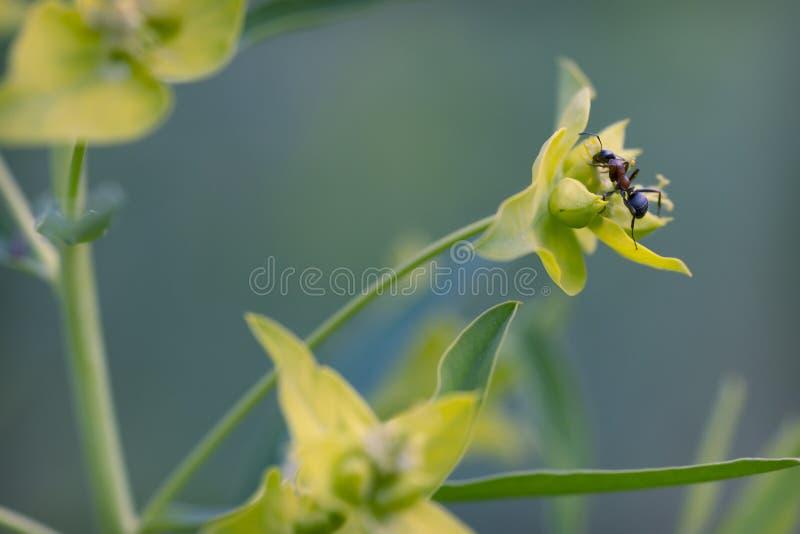 Ameise auf die Oberseite der Blume stockfoto