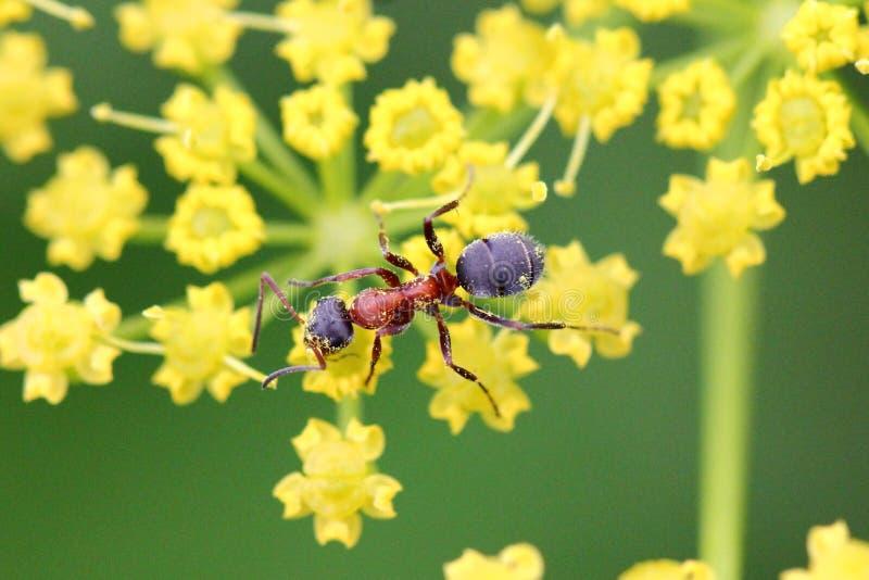 Ameise auf gelber Blume lizenzfreie stockfotografie
