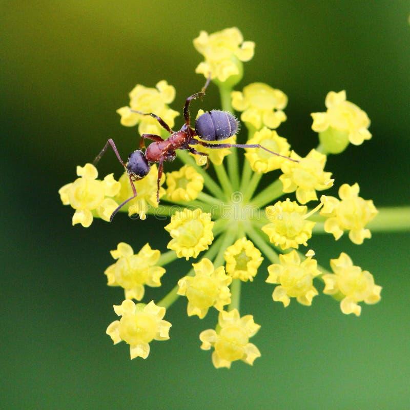 Ameise auf gelber Blume stockbilder