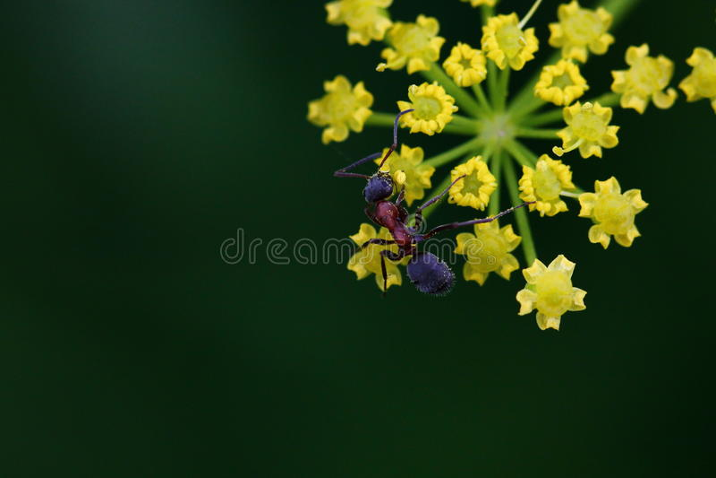 Ameise auf gelber Blume stockfoto
