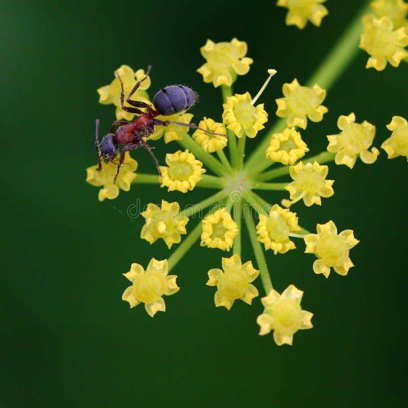 Ameise auf gelber Blume lizenzfreies stockfoto