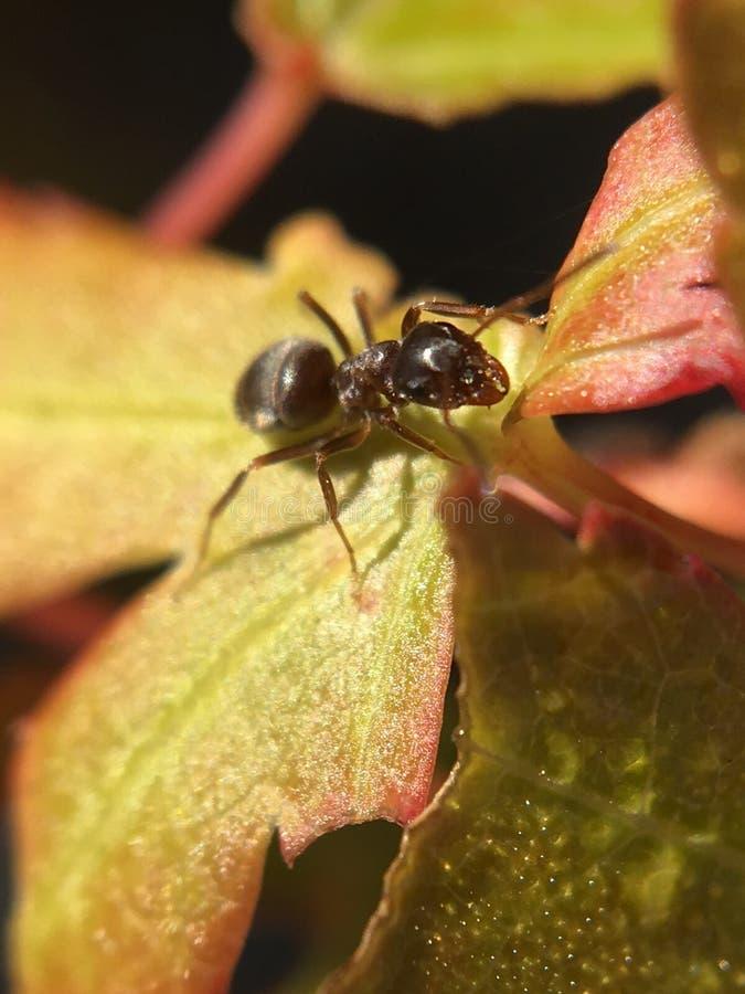 Ameise auf goldenen Acer stockfoto