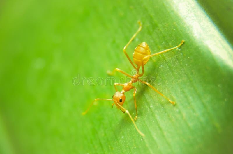 Ameise auf grünem Blatt lizenzfreie stockbilder