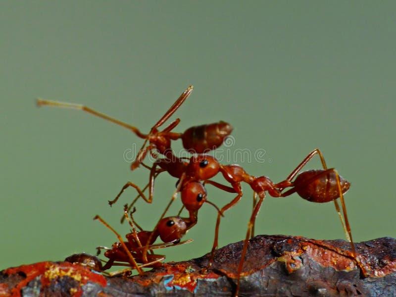Ameise in der Aktion im Dschungel stockfoto
