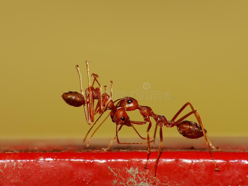 Ameise in der Aktion im Dschungel stockfotografie