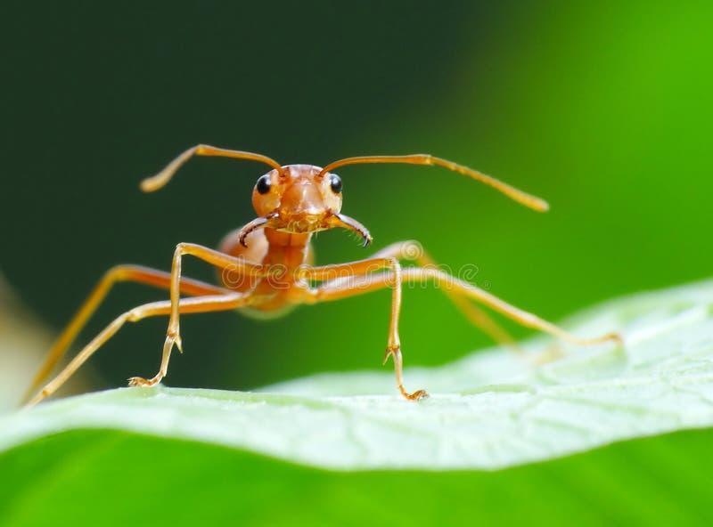 Ameise in der Aktion im Dschungel lizenzfreies stockbild
