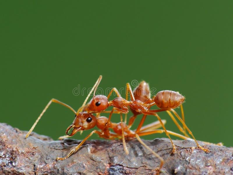 Ameise in der Aktion im Dschungel stockbilder