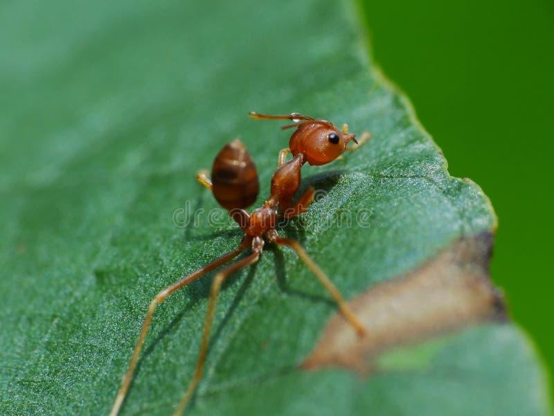 Ameise in der Aktion im Dschungel stockbild