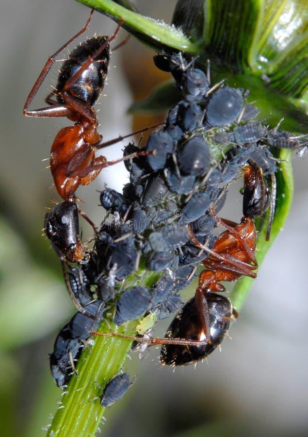 Ameise, die Blattläuse neigt lizenzfreies stockbild