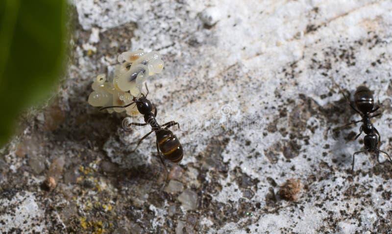 Ameise, die Eier transportiert