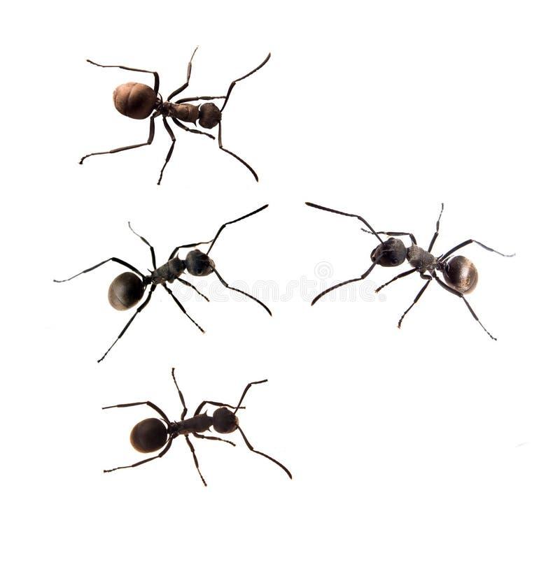 Ameise getrennt auf Weiß lizenzfreies stockbild