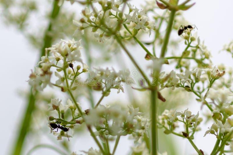 Ameisen auf einer grünen Niederlassung stockfotos