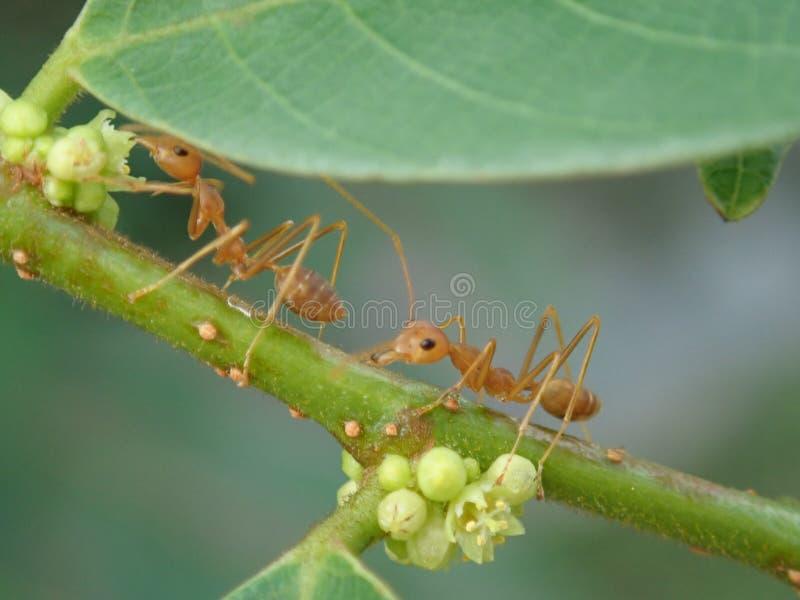 Ameisen auf Niederlassung lizenzfreies stockfoto