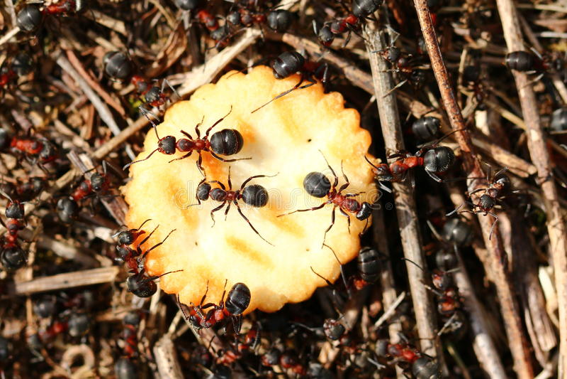 Ameisen, die Cracker essen lizenzfreie stockfotografie