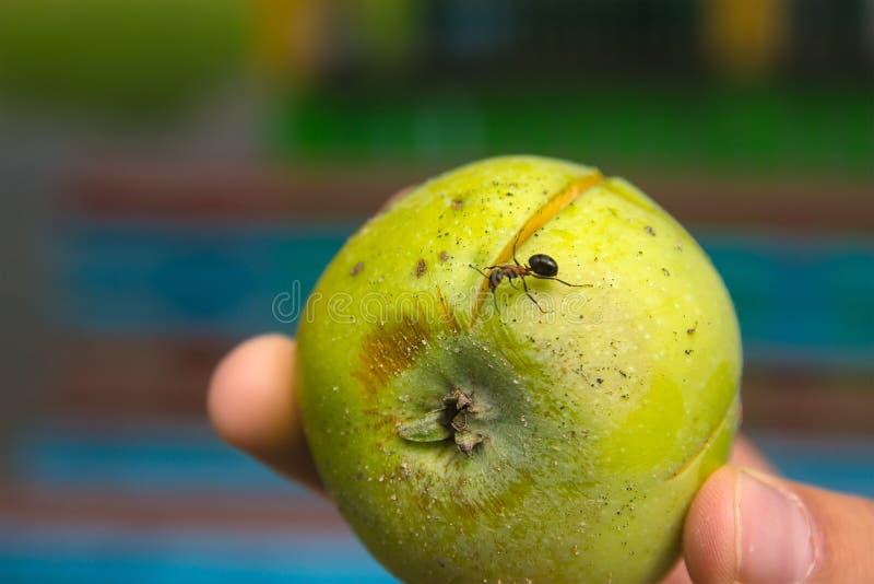 Ameisen, die an defektem Apfel laufen lizenzfreie stockfotos