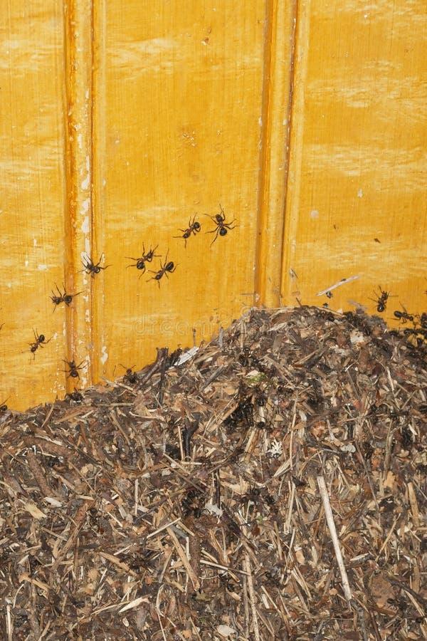 Ameisen, die ein altes Haus eindringen stockfoto