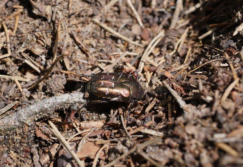 Ameisen, die einen Käfer ziehen lizenzfreies stockbild