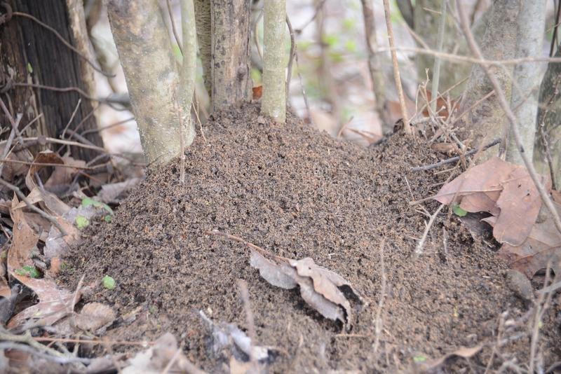 Ameisen in einem Hügel stockbild