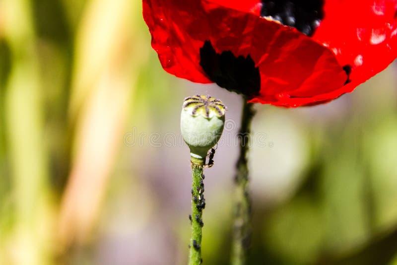 Ameisen essen Blattl?use auf einer Kapsel von ein Mohnblumenblume Papaver rhoeas Selektiver Fokus lizenzfreie stockfotografie