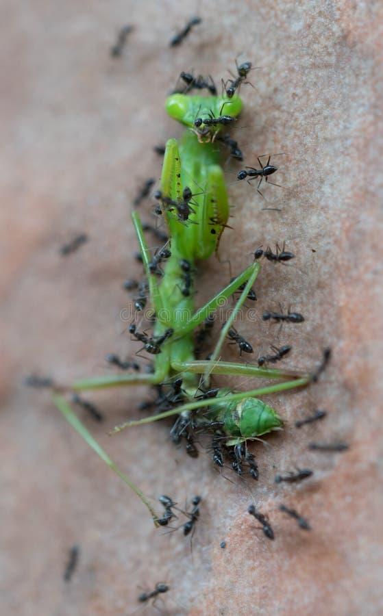 Ameisen nehmen in Angriff und essen grüne Gottesanbeterinnen stockfotografie