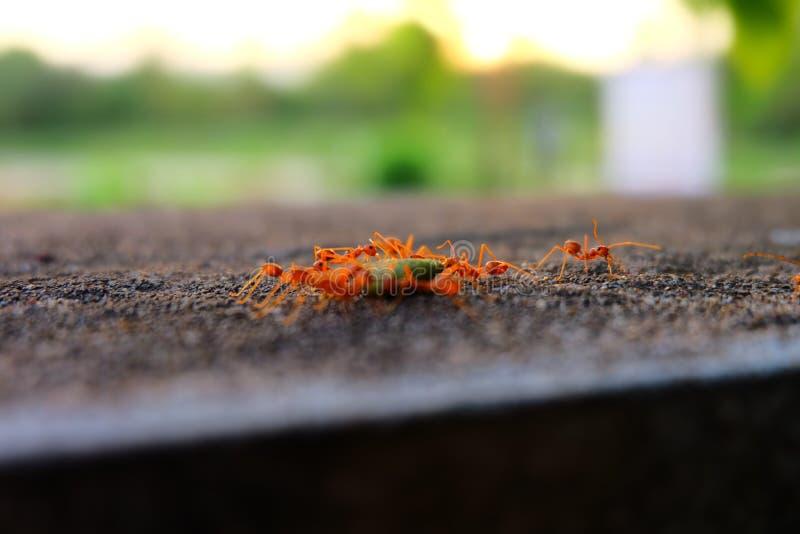 Ameisen nehmen ihr Lebensmittel zum Nest stockfotografie