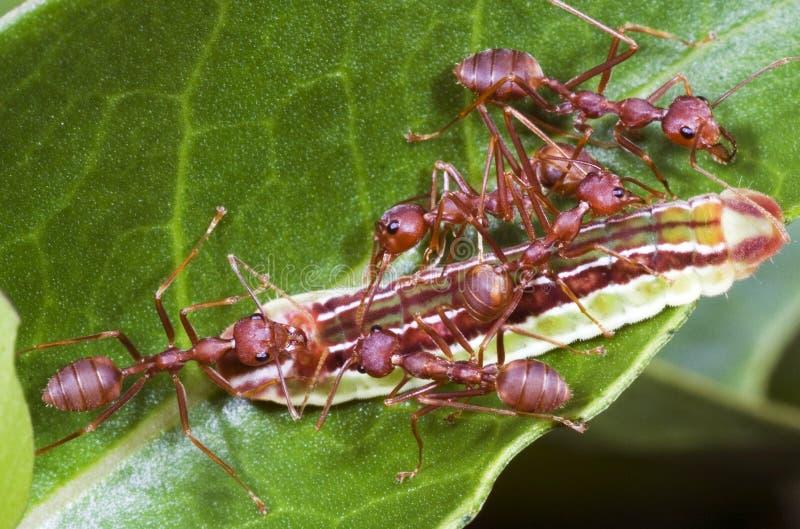 Ameisen-Team-Arbeit lizenzfreie stockfotos