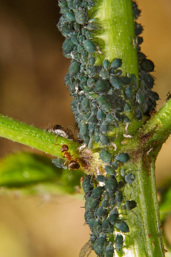 Ameisen und L?use lizenzfreies stockbild