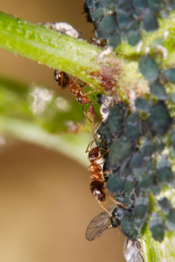 Ameisen und L?use lizenzfreies stockfoto