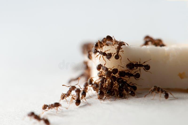 Ameisenessen lizenzfreies stockfoto