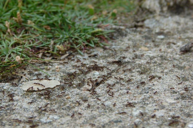 Ameisengruppenteam bewegen sich vorwärts, um natürlichen Ameisenhaufen zu errichten stockfoto