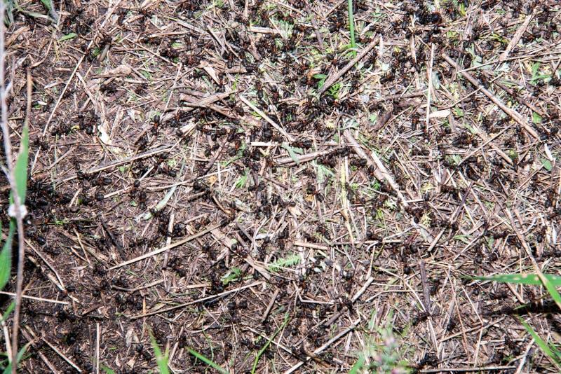 Ameisenhügel als Hintergrundnahaufnahmemakro auf dem Gebiet lizenzfreies stockbild