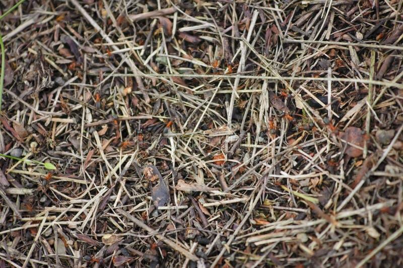 Ameisenhaufen der roten Waldameisennahaufnahme Resopal rufa Rote Waldameise in einem Ameisenhaufen stockbilder