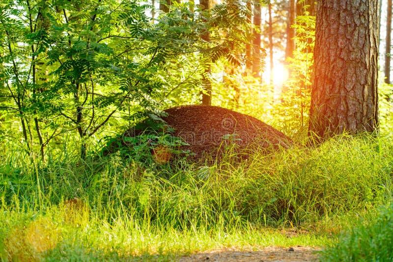 Ameisenhaufen im Wald bei Sonnenaufgang lizenzfreie stockfotografie
